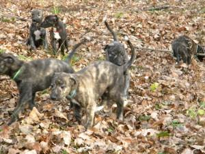 greyhound štěňata